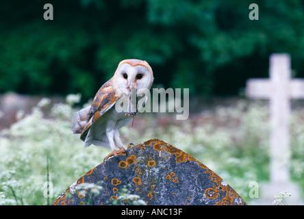 Barn Owl Tyto alba returning to nest in churchyard clutching prey shrew summer uk - Stock Photo