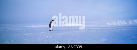 Emperor Penguin Aptenodytes forsteri alone on sea ice of Weddell Sea Antarctica - Stock Photo