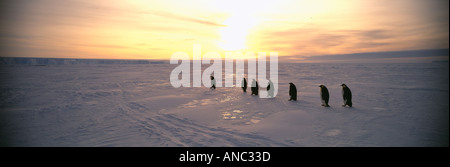 Emperor Penguin Aptenodytes forsteri adults returning to colony from sea on sea ice of Weddell Sea Antarctica - Stock Photo