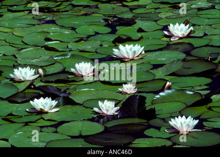 V00036 tif Water lilies in pond near Florence Oregon - Stock Photo