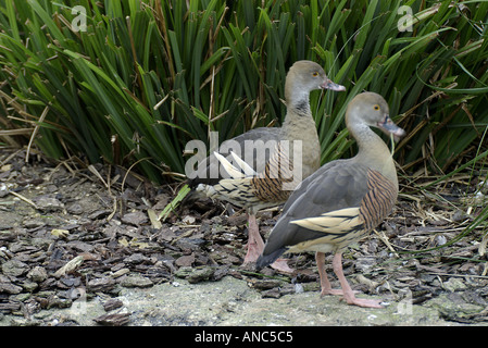 Plumed or Eyton s Whistling Duck - Stock Photo