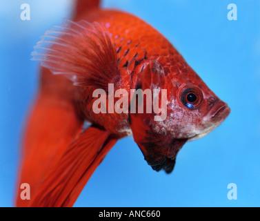 male Siamese Fighting Fish BETTA SPLEDENS threaten threatening threat menance - Stock Photo