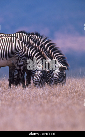 Three Grevy s Zebras grazing Largest and rarest of the zebras adapted to arid areas Kenya - Stock Photo