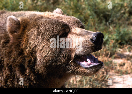 Kodiak Bear aka Alaskan Grizzly Bear and Alaska Brown Bear (Ursus arctos middendorffi) growling - North American - Stock Photo