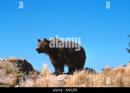Kodiak Bear aka Alaskan Grizzly Bear and Alaska Brown Bear (Ursus arctos middendorffi) standing - North American - Stock Photo