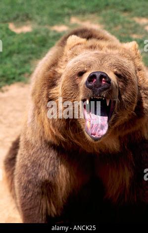 Kodiak Bear aka Alaskan Grizzly Bear and Alaska Brown Bear (Ursus arctos middendorffi) roaring - North American - Stock Photo