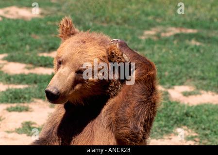 Kodiak Bear aka Alaskan Grizzly Bear and Alaska Brown Bear (Ursus arctos middendorffi) scratching - North American - Stock Photo