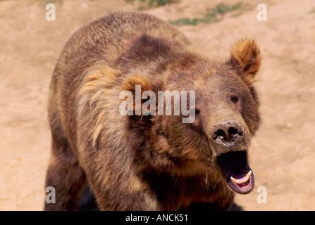 Kodiak Bear aka Alaskan Grizzly Bear and Alaska Brown Bear (Ursus arctos middendorffi) yawning - North American - Stock Photo