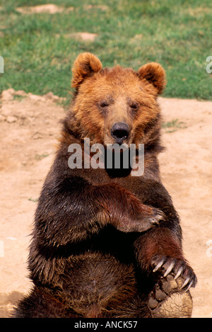 Kodiak Bear aka Alaskan Grizzly Bear and Alaska Brown Bear (Ursus arctos middendorffi) - North American Wild Animals - Stock Photo