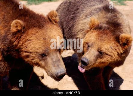 Kodiak Bear aka Alaskan Grizzly Bear and Alaska Brown Bear (Ursus arctos middendorffi) playing - North American - Stock Photo