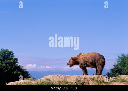 Kodiak Bear aka Alaskan Grizzly Bear and Alaska Brown Bear (Ursus arctos middendorffi) on Ridge - North American - Stock Photo