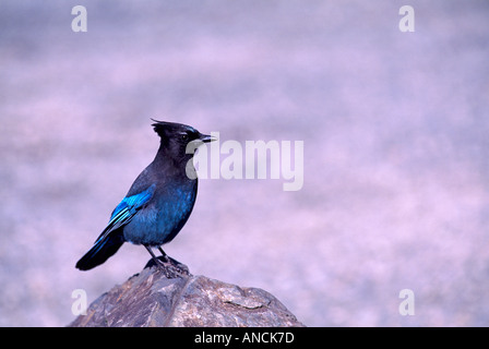 Steller's Jay with Latin Name of Cyanocitta stelleri sitting on a Rock in British Columbia Canada - Stock Photo