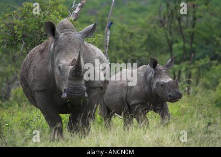 White rhino mother and calf - Stock Photo