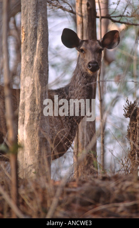 Sambar Deer, Pench Tiger Reserve, Madhya Pradesh, India - Stock Photo