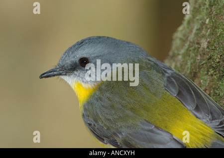Close-up of an Eastern Yellow Robin - Stock Photo