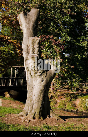lopped trunk of a diseased sycamore tree - Stock Photo
