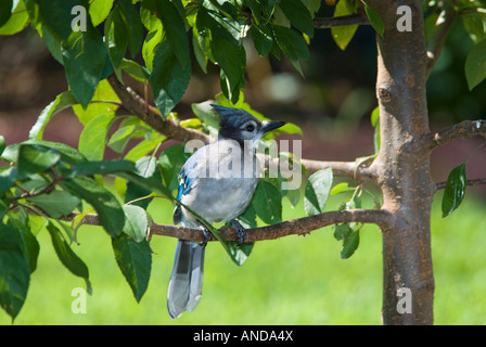 A juvenile Blue Jay (Cyanocitta cristata) perches on a branch. Oklahoma, USA. - Stock Photo