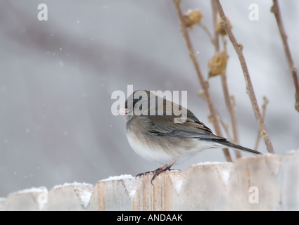 A Dark eyed Junco perches on a fence during a snowfall. Profile. Oklahoma, USA. - Stock Photo