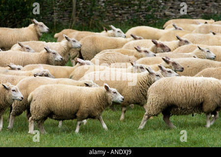Flock of sheep The Cotswolds England - Stock Photo