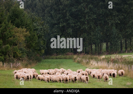 Flock of sheep in The Cotswolds England - Stock Photo