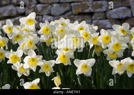 Daffodils Oxfordshire United Kingdom UK - Stock Photo