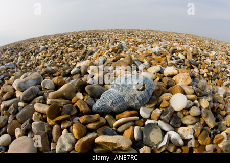 Washed up shell on Cley Beach Norfolk United Kingdom - Stock Photo
