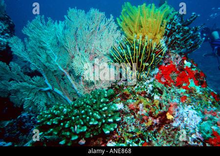 Corals and crinoids Similan Islands Thailand Andaman Sea  - Stock Photo