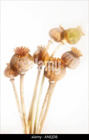Poppy seedheads soft focus Botanical name Papaver somniferum - Stock Photo