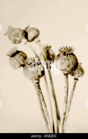 Poppy seedheads soft focus sepia tone Botanical name Papaver somniferum - Stock Photo