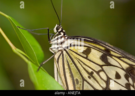 Close up of a Malabar Tree Nymph butterfly (Idea malabarica). - Stock Photo