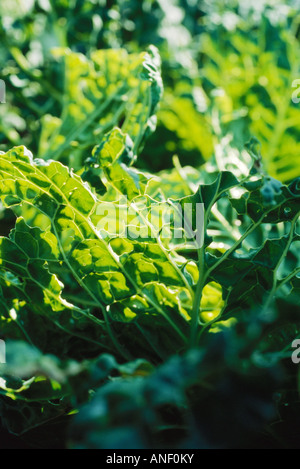 Chard growing in garden, extreme close-up - Stock Photo