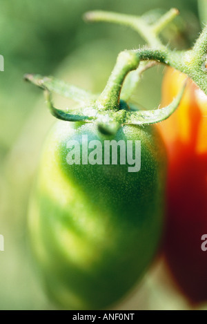 Green tomato growing on vine, extreme close-up - Stock Photo