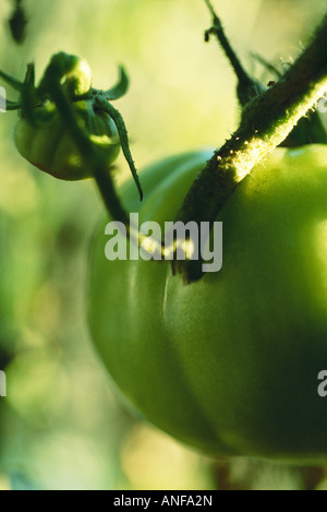Green tomatoes growing on vine - Stock Photo