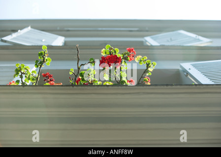 Branches of geranium emerging from windowsill, low angle view - Stock Photo