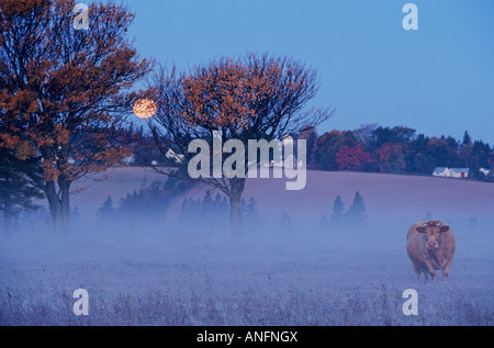 Cow under a Harvest Moon, Meadow Bank, Prince Edward Island, Canada. - Stock Photo
