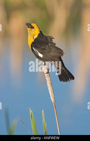 Yellow-headed Blackbird perched on cattail, British Columbia, Canada. - Stock Photo