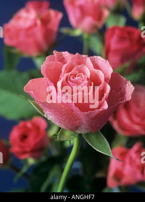 WATER DROPS on bunch of PINK ROSES selectively focused on central foreground rose against a dark backdrop. Bunch - Stock Photo