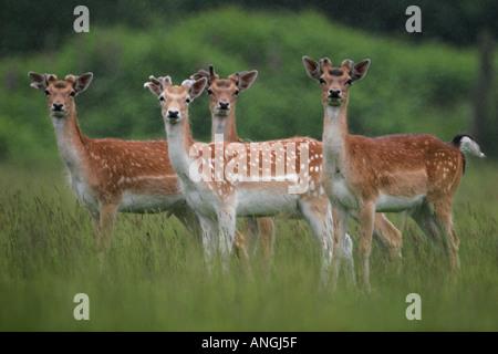 Group of four FALLOW DEER Dama dama Hinds - Stock Photo