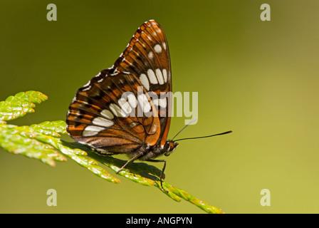 Lorquins Admiral (Limenitis lorquini), British Columbia, Canada. - Stock Photo