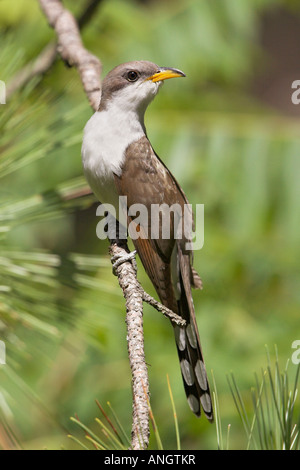 A Yellow-billed Cuckoo (Coccyzus americanus) at Long Point in Ontario, Canada. - Stock Photo