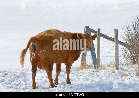 Red Angus (Bos taurus) Female giving birth to Calf. Cows in this area are usually left outside in winter. If the - Stock Photo