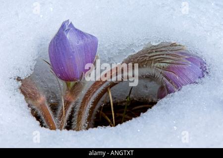Prairie Crocus or Pasqueflower (Anemone patens) emerging from the snow. One of the earliest wildflowers to appear - Stock Photo