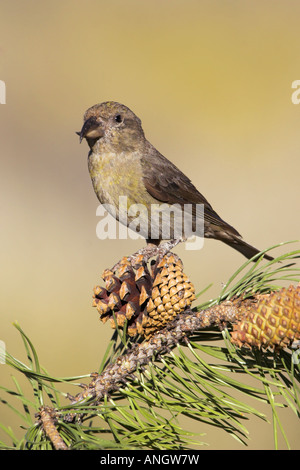 A Red Crossbill (Loxia curvirostra) perched on a pine cone in Victoria, British Columbia, Canada. - Stock Photo