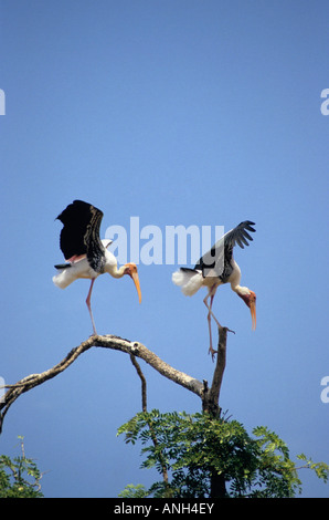 Painted Stork, Mycteria leucocephala, Pair landing at Kokkare bellur, Madhya Karnataka, India - Stock Photo