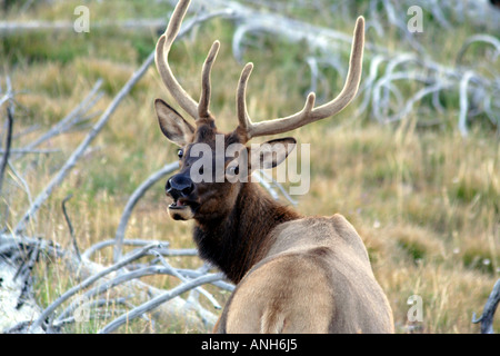 Mouth Open Mule Deer in High Grass, Yellowstone National Park, Wyoming, USA - Stock Photo