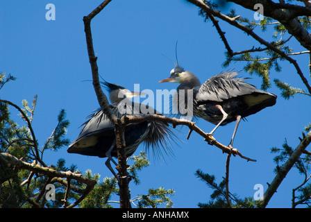Great Blue Heron in Beacon Hill Park, Victoria, British Columbia, Canada. - Stock Photo