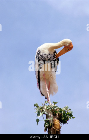 Painted Stork, Mycteria leucocephala at Kokkare bellur, Mandya Karnataka, India - Stock Photo