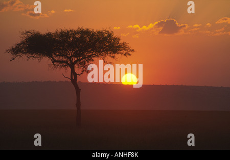 Acacia Tree at Sunset in Masai Mara Kenya - Stock Photo