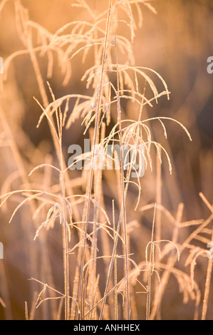 Grasses coated in frost on the shore of windermere lake district UK - Stock Photo
