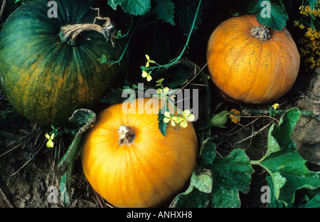 USA New York State Pumpkins in a Field Growing on the Vine - Stock Photo